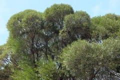 榆木冠 库存图片