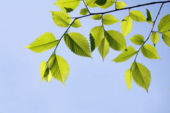 榆木叶子 库存图片