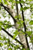 榆木春天结构树 图库摄影