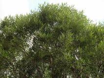 榆木的冠 免版税库存图片