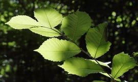 榆木的分支 免版税图库摄影