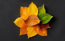 榆木秋叶在黑纸背景的 库存图片