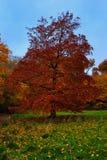 榆木红色结构树 库存图片