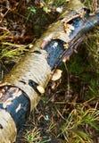 榆木,白桦树皮,卷毛 免版税库存照片