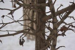 榆树在冬天发芽并且离开 免版税库存图片