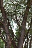 榆树树干 免版税库存照片