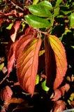 榆树榆树秋天颜色 库存图片