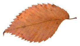榆树腐烂的干红色叶子的后部  库存图片