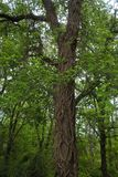 榆树 免版税图库摄影