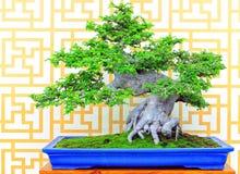 榆树parifolia或中国榆木盆景植物 免版税库存照片