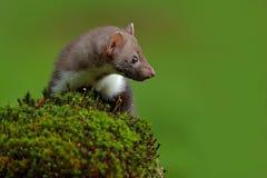 榉貂,市场foina,有清楚的绿色背景 白胸貂,森林动物细节画象  小食肉动物的开会 库存图片
