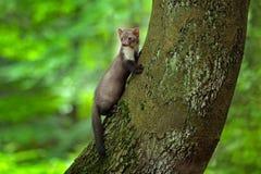 榉貂,森林动物细节画象  在树干的小食肉动物的开会与在森林野生生物场面的绿色青苔 免版税库存图片