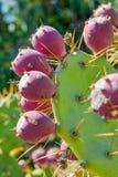 榕属印度的仙人掌 图库摄影