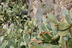 榕属印度的仙人掌 免版税库存照片