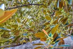 榕属叶子老摩顿湾无花果榕属多年来逐字地增长与比佛利山 库存照片