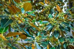 榕属叶子老摩顿湾无花果榕属多年来逐字地增长与比佛利山 免版税图库摄影