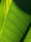 榕属叶子 库存图片