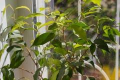 榕属在窗台的benjamina室内植物 免版税图库摄影