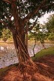榕属树干和根 免版税库存图片
