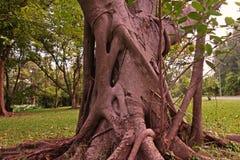 榕属树干和根 免版税库存照片