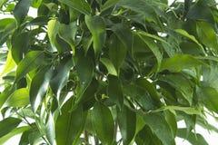 榕属树离开背景 免版税库存图片