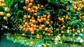 榕属水果树,立即可食 免版税库存图片
