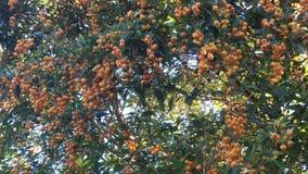 榕属水果树,立即可食 库存照片