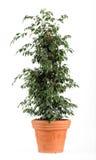 榕属浅褐色的罐的Benjamina达尼埃尔厂 免版税库存照片