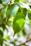 榕属灌木绿色叶子  免版税库存照片