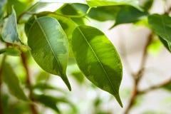 榕属灌木绿色叶子  免版税库存图片