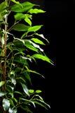 榕属结构树 库存照片