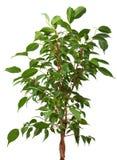 榕属结构树 免版税库存图片