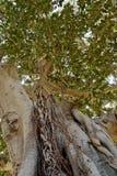 榕属结构树 图库摄影
