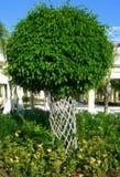 榕属结构树 免版税库存照片
