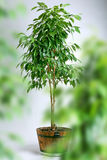 榕属罐结构树 库存照片