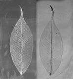榕属被概略记述的叶子黑白照片  免版税库存图片