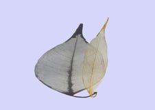 榕属被概略记述的叶子  图库摄影