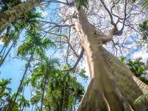 榕属albipila,在Uthaithani,泰国的巨型树 免版税库存图片