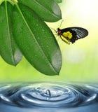 榕属elastica和蝴蝶满地露水的叶子  免版税库存照片