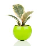 榕属elastica植物 库存图片