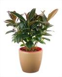 榕属elastica (印地安橡胶衬套)在浅褐色的花盆 库存照片