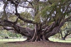 榕属macrophylla,摩顿湾无花果,扼杀者无花果,澳大利亚 免版税库存照片