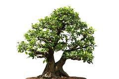 榕属Microcarpa树 免版税库存照片