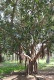 榕属Obliqua树 免版税库存图片