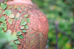 榕属pumila特写镜头老瓦器表面上的  库存图片