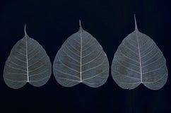 榕树三条叶子静脉  库存照片