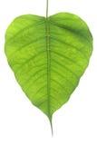 榕树叶子 免版税图库摄影