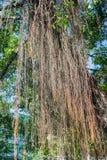 榕树根源背景 免版税库存照片