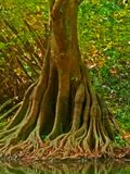 榕树根结构  免版税库存照片
