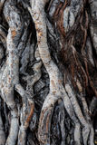 榕树根 图库摄影